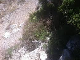 File:Limonium planesiae.JPG - Wikipedia