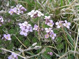 Petrocallis pyrenaica - Wikipedia, la enciclopedia libre