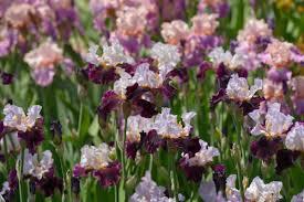 Iris Germanica (Bearded Iris)
