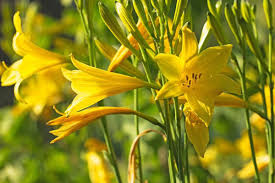 Hemerocallis lilioasphodelus (Lemon Lily)