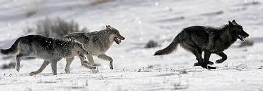 Image result for wolf pack running