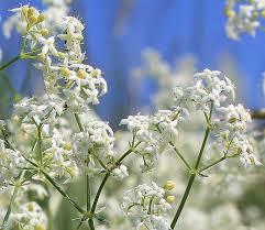 Galium lucidum