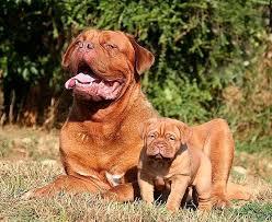 Αποτέλεσμα εικόνας για Dogue de Bordeaux