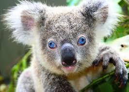 koala ¨¨ ^^ := =) Images?q=tbn:ANd9GcSnI054eBjha0I-d2wNPQZiOoDeszaR14v_wXmaHZtbKphVWidX