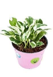 pothos indoor plant best low light office plants