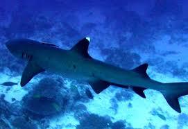 Witpunt haai Seychellen