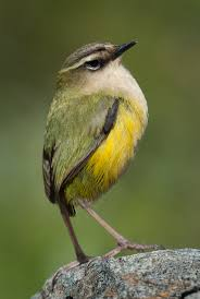 Image result for rifleman bird
