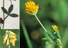 Trifolium sebastiani Savi - Portale della Flora di Roma