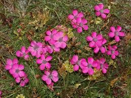 Dianthus pavonius - Wikipedia
