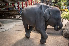 """Dumbo"", the Real-Life Performing <b>Baby Elephant</b> — Moving <b>Animals</b>"