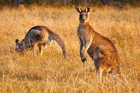 Image result for images kangaroos