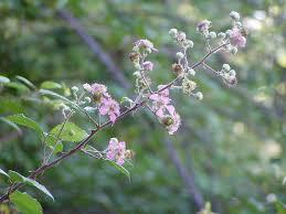 Rubus ulmifolius — Wikipédia