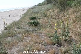 Verbascum niveum subsp. garganicum: il fiore d'oro delle dune ...