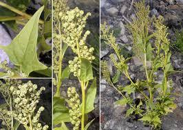Chenopodiastrum hybridum (L.) S.Fuentes, Uotila & Borsch ...