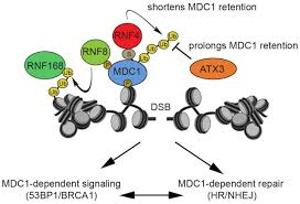 ataxin consolidates the mdc dependent dna double strand break figure