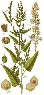 Atriplex - Wikipedia