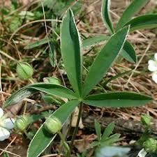 Potentilla alba (white cinquefoil): Go Botany