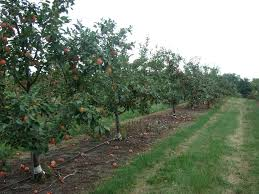 before you start an apple orchard fruit research university of before you start an apple orchard