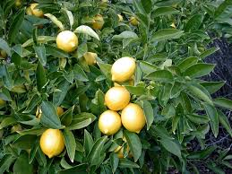 lemon tree x:  lemon tree closeup berkeley wikimedia commons