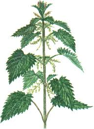 Image result for nettle