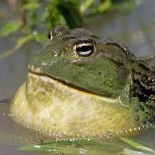 Basic Information Sheet: Giant <b>African</b> Bullfrog | LafeberVet