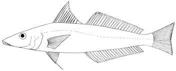 Pêche-madame argenté