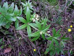 Rubia peregrina subsp. longifolia (Poir.) O. Bolòs