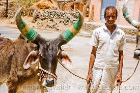 Image result for cow and man