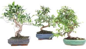 popular tree species bonsai tree