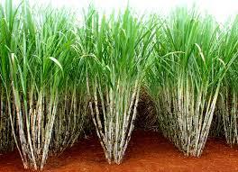 Resultado de imagem para cultura da cana de açúcar