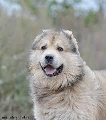 <b>МИШКА</b>. Кавказская овчарка ищет дом!!! очень хороший мальчик ...