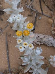 Otanthus maritimus - Wikipedia, la enciclopedia libre