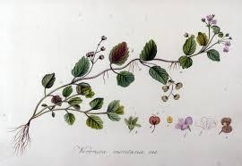 File:Veronica montana — Flora Batava — Volume v9.jpg ...