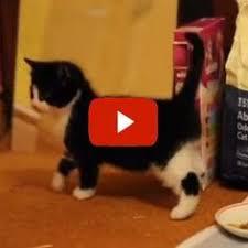 <b>Suki</b> the Cat's Agility Training   Cats, <b>Cute cats</b>, dogs, <b>Cute cats</b>