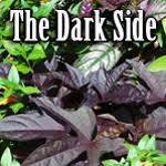 The <b>Dark</b> Side: Plants with <b>Black</b> or <b>Purple</b> Foliage – Master ...