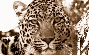 Image result for leopard