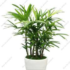 palm bamboo seeds bonsai tree seeds beautiful indoor tree plants office desks plant 30 particles a bonsai tree office table