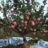 Fruit <b>Seeds</b> Dwarf NZ