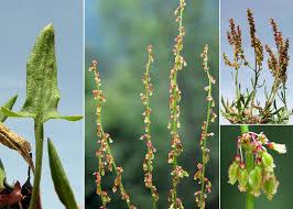 Rumex acetosella L. subsp. acetosella - Portale sulla flora del basso ...