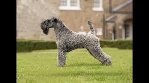 Порода собаки <b>керри</b>-<b>блю</b>-<b>терьер</b>. Как ухаживать за собакой ...