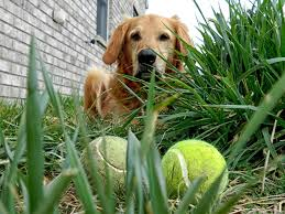 tennis ball trivia linda o connor if you drop a ball 100 inches from the ground it needs to bounce back 53 58 inches so get out there and check all those old tennis balls lying around