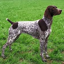 25+ best ideas about German shorthaired pointer on Pinterest | Gsp ...