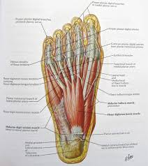 muscles of the foot diagram muscles in foot diagram human anatomy        muscles of the foot diagram foot archives anatomy human body