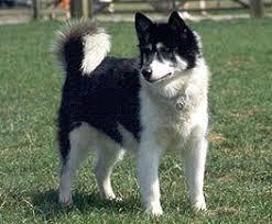 Native American dogs