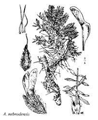 Sp. Astragalus nebrodensis - florae.it