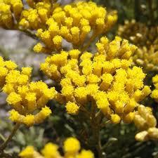 Miraculous, Healing Helichrysum (Immortelle) Essential Oil Spotlight
