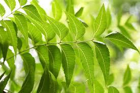 Image result for neem leaves