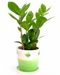 zz plant zamioculcas plant best office plant no sunlight