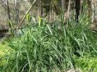 toowomba canary grass