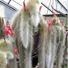 Exotic Tail <b>Cactus</b> (<b>Hildewintera colademononis</b>) <b>plants</b> succulents ...